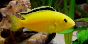 Assorted Malawi Cichlids - Small (Pack of 5)